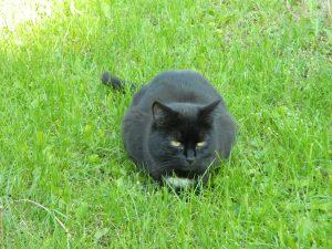 Borniger Katze